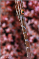 Trumpetfish.Nikon D80,105mmVR,f11,1/125,YS-120*2. by Allen Lee 